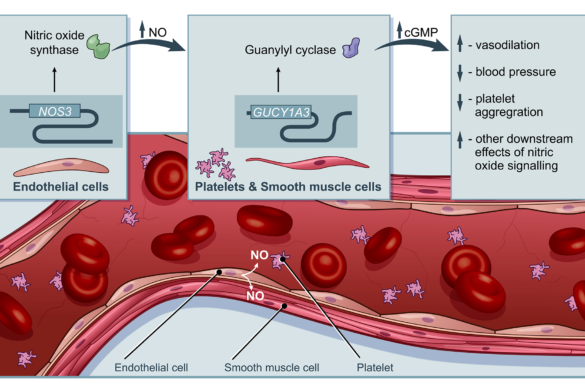 Enhanced nitric oxide signaling